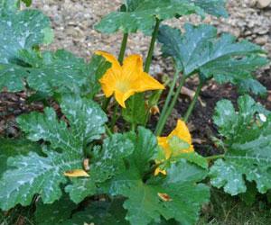 Semer et cultiver ses courgettes - Maladie de la courgette ...