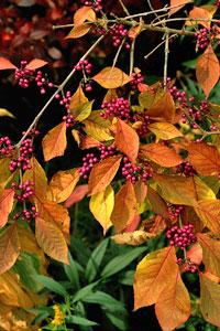 Le Callicarpa : son feuillage coloré et ses jolies baies