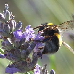 Pollinisateur sur lavande