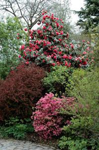 Camélia japonica et azalée japonaise