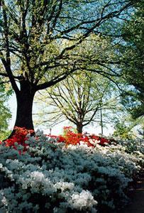 Placez-les sous la protection de grands arbres caducs