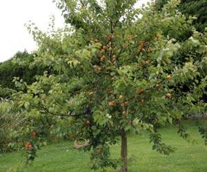Planter les arbres fruitiers (Fiches conseils)