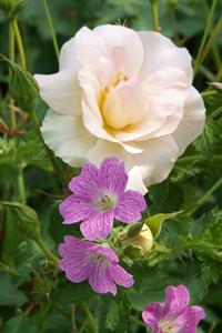 Les géraniums vivaces se marient bien avec les rosiers