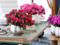 http://photos.plantes-et-jardins.com/magazine/1212/azalee2.jpg