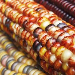 Epis de maïs colorés