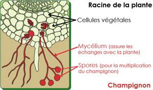 Schéma d'une mycorhize