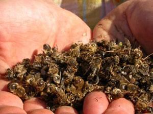 La première année, les abeilles ont été empoisonnées par les pesticides !