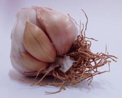 Ce sont les caïeux que l'on plante : petits bulbilles qui se détachent de la tête