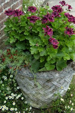 Un grand choix de parfums, de couleur et de forme de fleurs : les pélargoniums vont vous séduire.