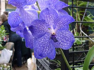 Une Orchidée bleue : Vanda (Photo Gérard Chauvet)