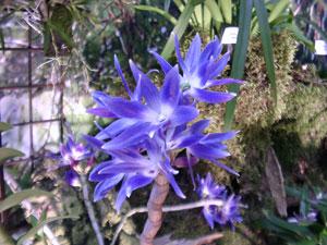 Une autre Orchidée bleue : Dendrobium (Photo Gérard Chauvet)