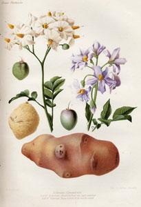 La planche de Solanum commersonii