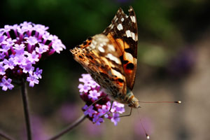 La verveine de Buenos-Aires attire les pollinisateurs