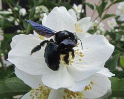 L'abeille charpentière ou xylocope