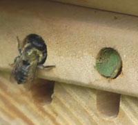 Une abeille solitaire en pleine nidification