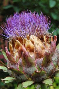 La fleur d'artichaut
