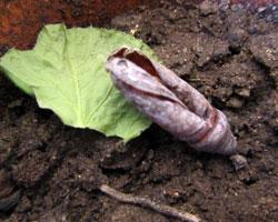 Le papillon adulte va sortir de sa chrysalide