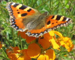 Le papillon Petite Tortue