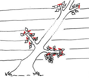 Schéma de la coupe des fruitiers formés