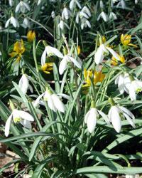 Les fleurs jaunes de l'éranthis parmi les perce-neige