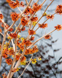 Les hamamélis, ses fleurs et leur parfum divin !