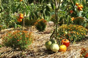 Les oeillets d'Inde sont de bons compagnons pour les tomates