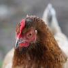 Tout sur les poules pondeuses au jardin
