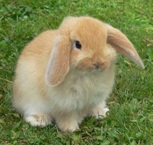 Le lapin nain bélier