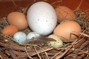 Les oeufs sont de couleur et de taille différentes selon la race de poule