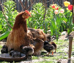 Si les poussins n'ont pas été élevés par leur mère, surveillez leur intégration dans la basse-cour