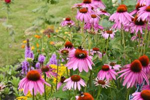 Mariez les échinacées avec d'autre floraisons en massifs