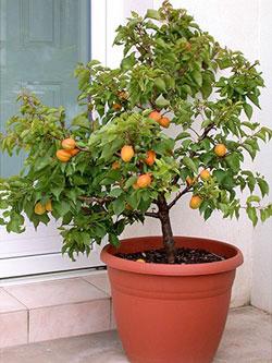 Les arbres fruitiers nains se cultivent très bien en pot