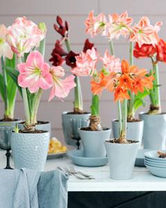 amaryllis entretien en pot 28 images amaryllis culture With tapis chambre bébé avec fleurs a bulbe amaryllis