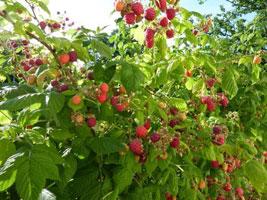 Passionnement choisir et planter les framboisiers - Ou planter un framboisier ...