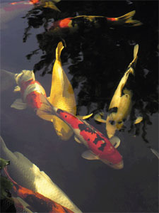 Les carpes koï réclament une profondeur d'au moins 150cm