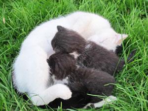 Une chatte en lactation mangera la même alimentation que des chatons en phase de croissance
