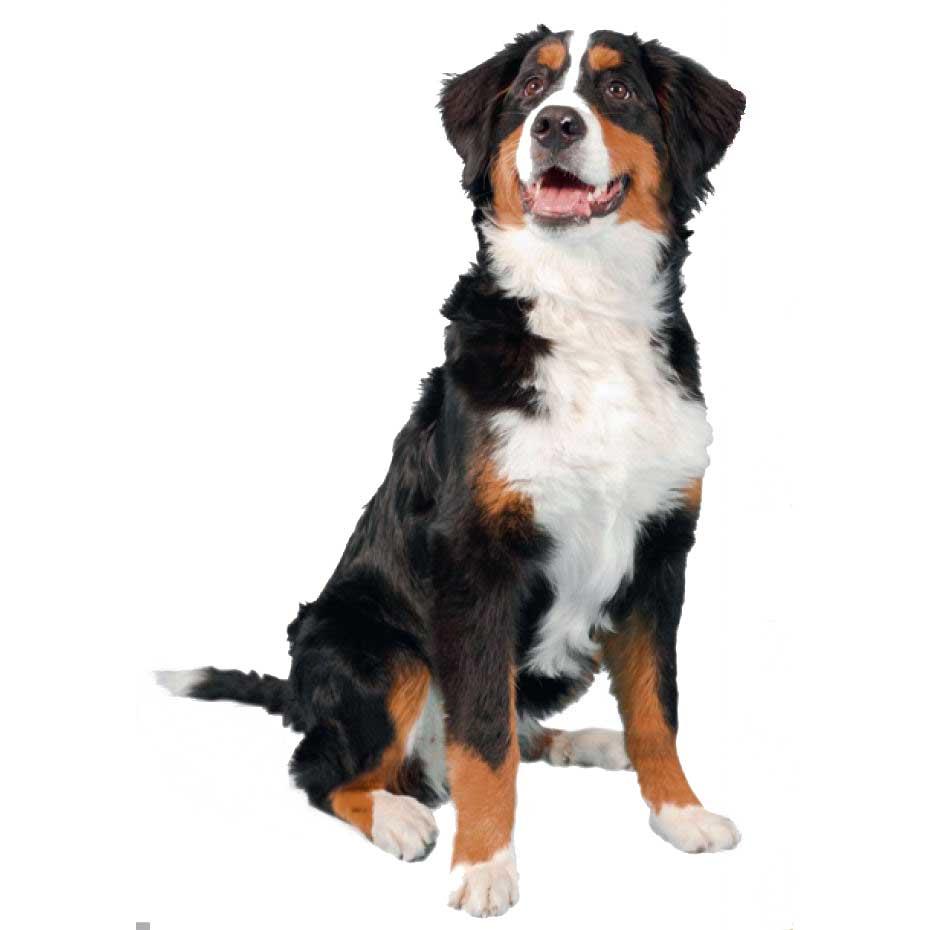 image de chien avec leur race image de. Black Bedroom Furniture Sets. Home Design Ideas