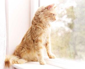Le chat aime guetter par la fenêtre