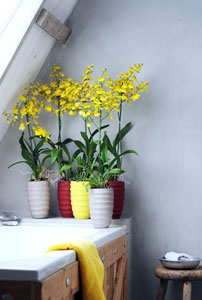 Orchidée Oncidium
