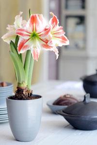 10 plantes d int rieur fleuries et faciles vivre gamm vert for Rempotage bulbe amaryllis