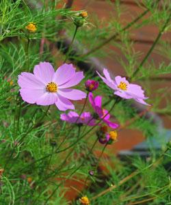 Cosmos, belles fleurs de l'été et de l'automne