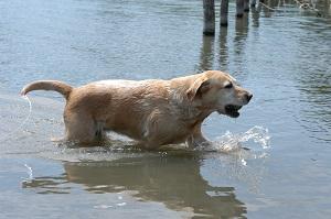 Le labrador aime l'eau !