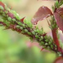 moucherons dans la terre des plantes vertes
