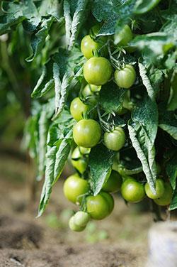 La virose de la tomate recroqueville les feuilles