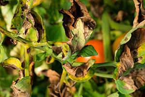 L'anthracnose brunit les feuilles