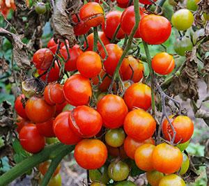 Les fentes de croissance fissurent les fruits