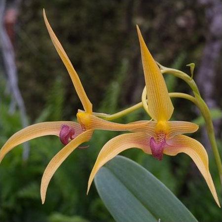 Orchidée bulbophyllum 'Frank Smith'