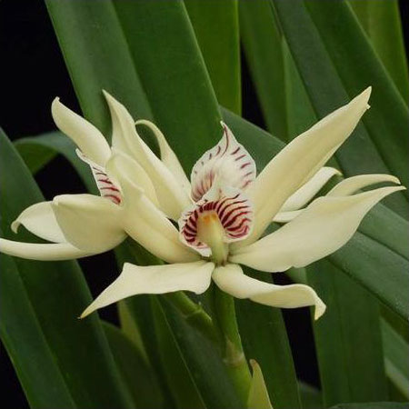 Orchidée Prosthechea baculus