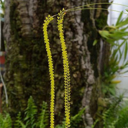 Orchidée Dendrochilum filiforme