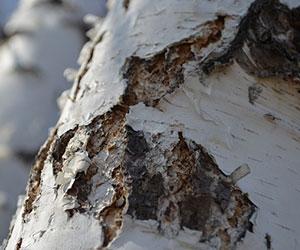 Caressez l'écorce des arbres